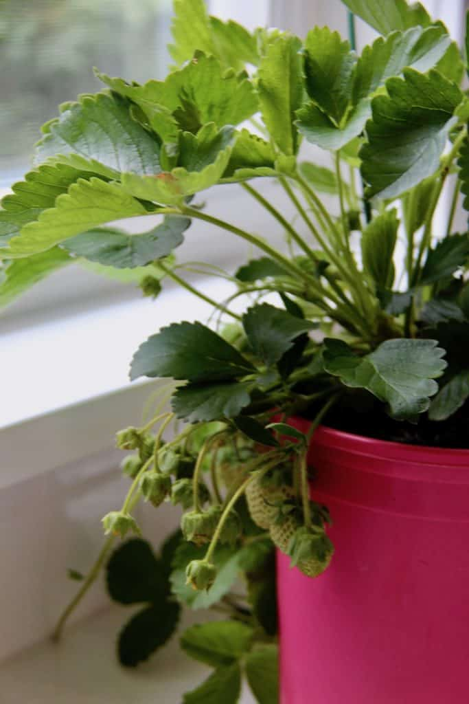 Growing Strawberries Indoors: The Ultimate Guide for New ...
