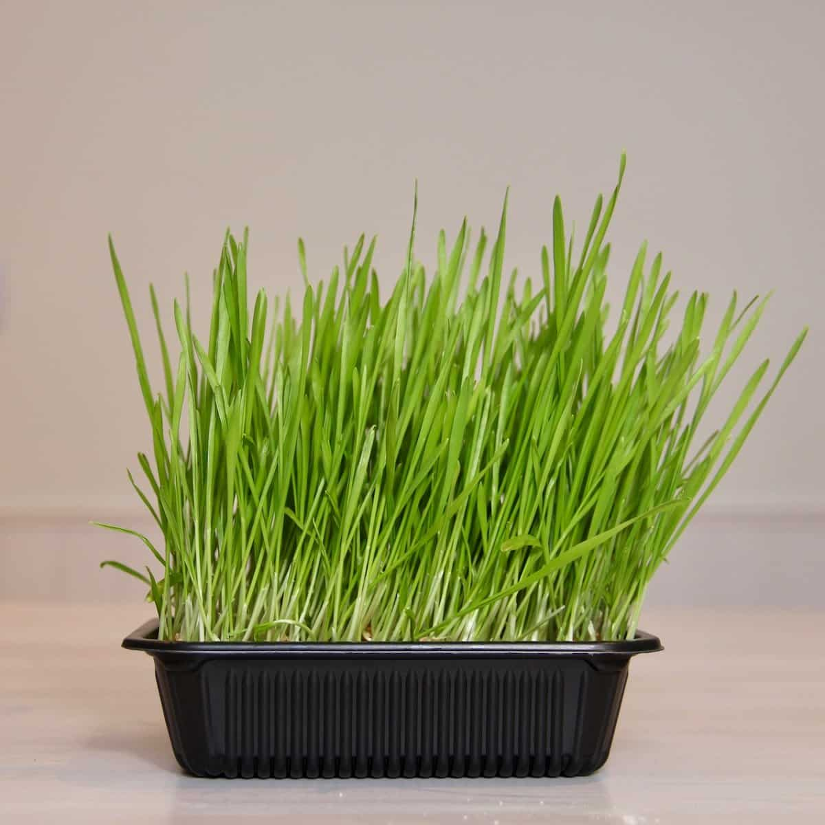 how to grow wheatgrass at home in small trays - healthy green vegan wheatgrass juice