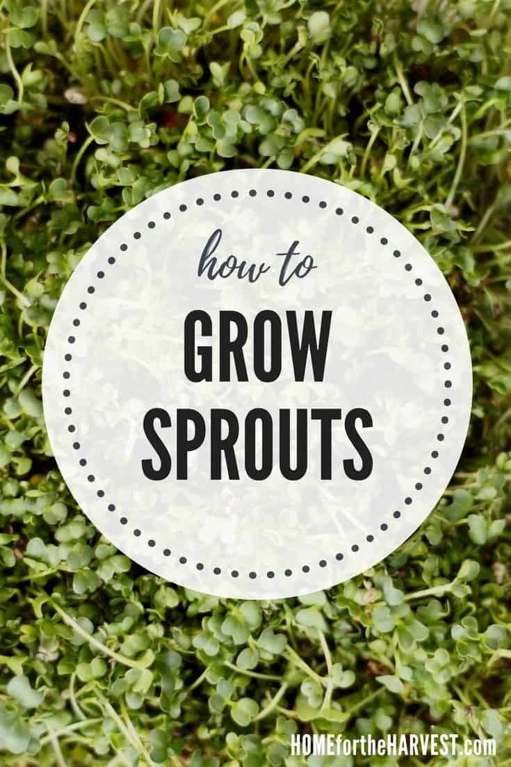 how to grow sprouts - growing sprouts at home