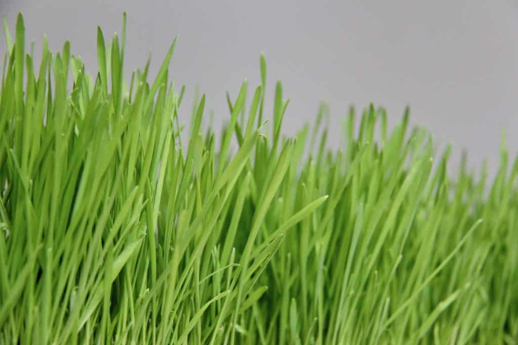 tutorial image for how to grow wheatgrass showing green growing wheatgrass blades