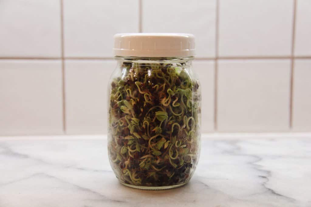 Buckwheat sprouts growing in a mason jar on a kitchen countertop