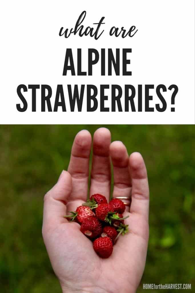 What Are Alpine Strawberries? | Home for the Harvest