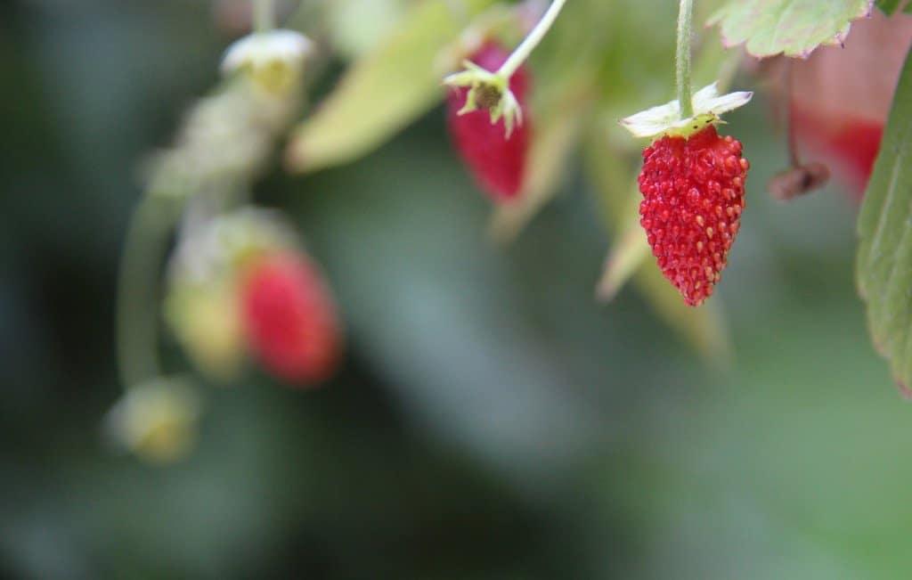Fraises des Bois - Mignonette - Berries
