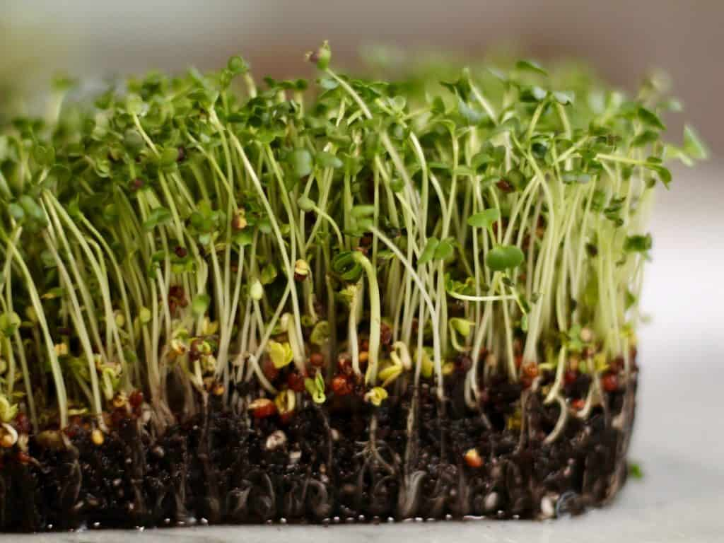 Growing Microgreens to Start Gardening | Home for the Harvest
