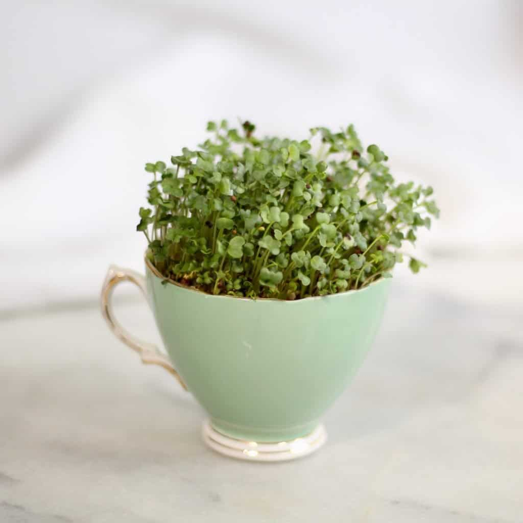 Learn to Garden by Growing Microgreens | Home for the Harvest