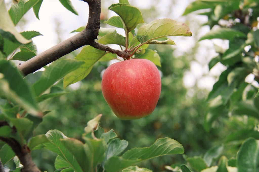 Red apple in organic fruit orchard | Home for the Harvest Gardening Blog