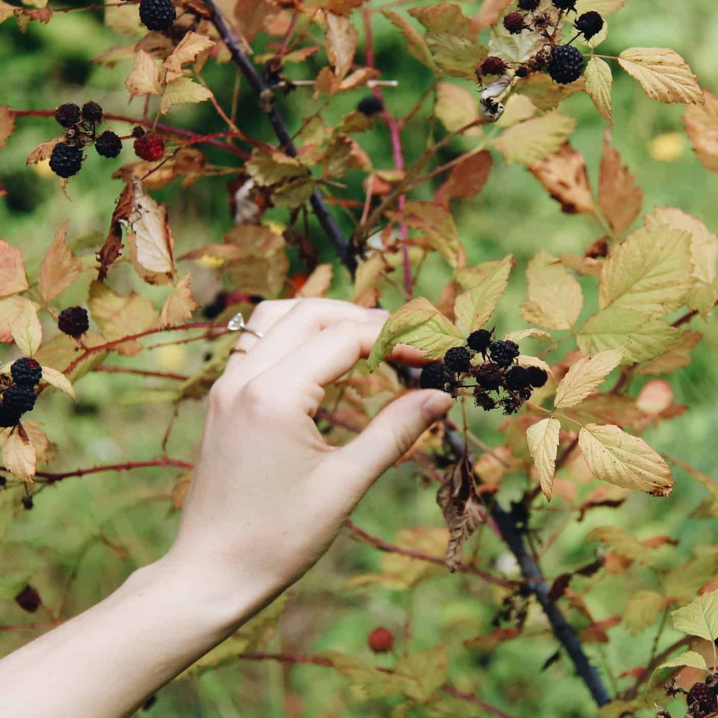 Hand harvesting berries in a permaculture garden
