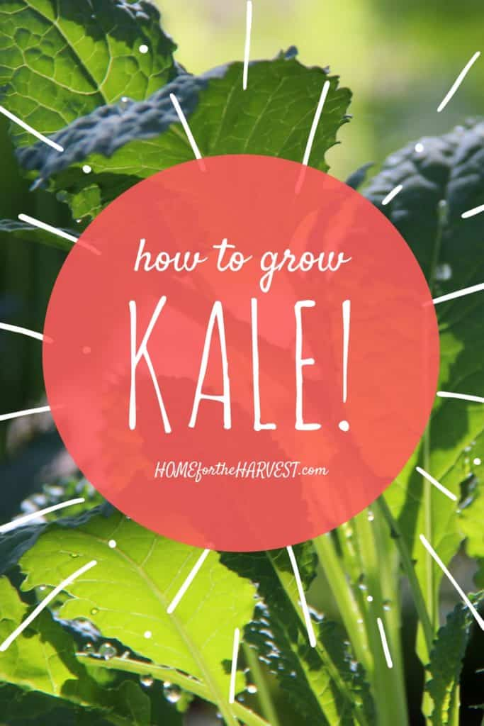 How to Grow Kale | Home for the Harvest