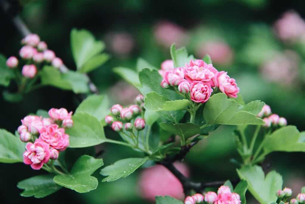 Hawthorn Flower Blossoms - Home for the Harvest Gardening Blog