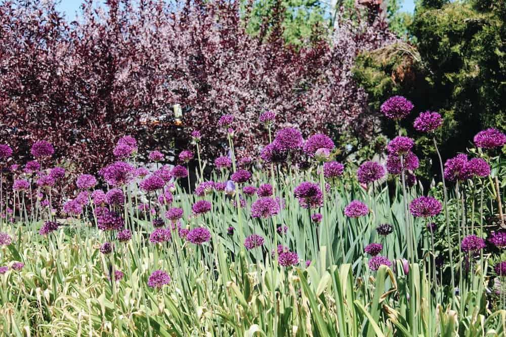 Globe Allium Blossoms | Home for the Harvest Gardening Blog