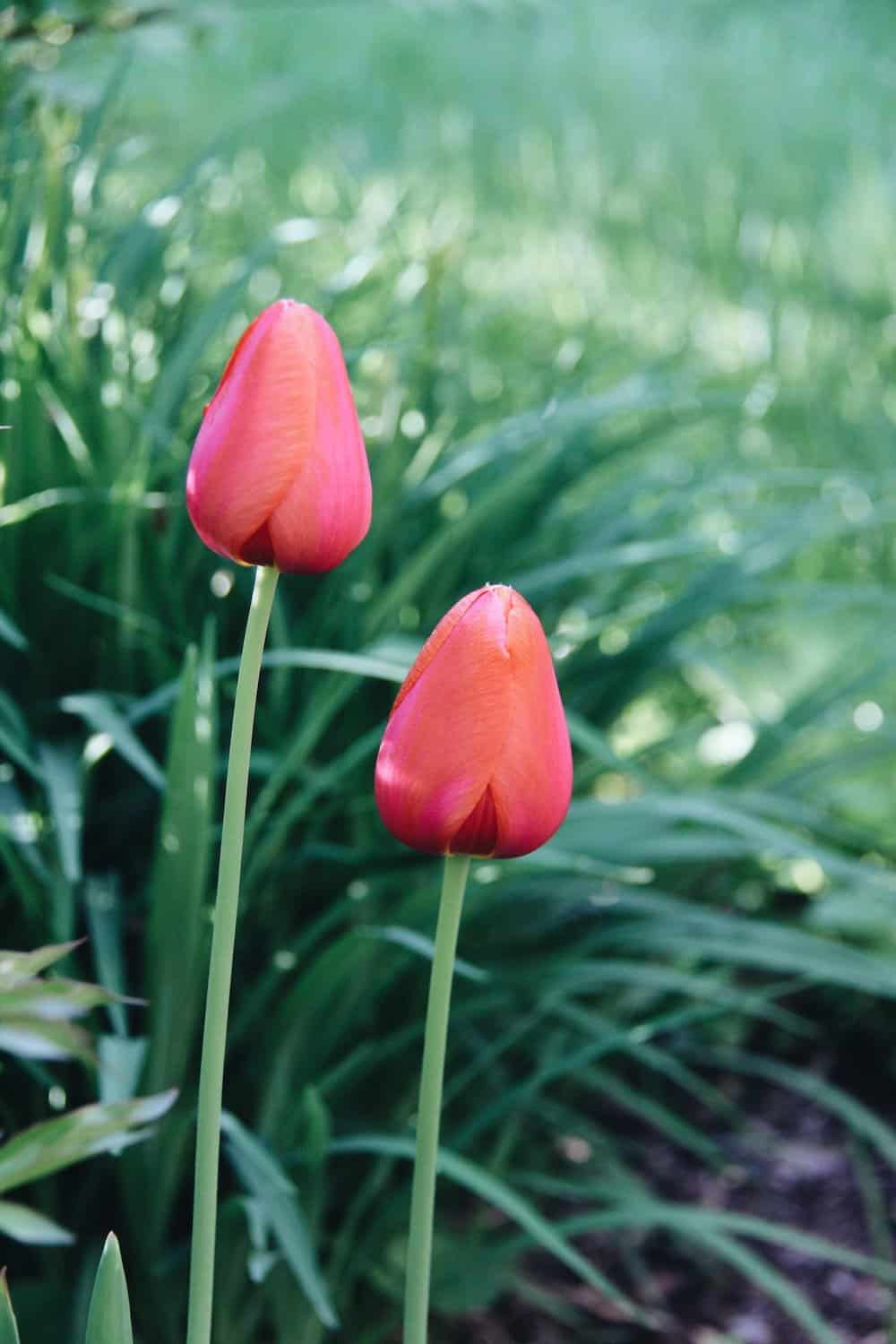 gardening tips showing pink tulips in a green garden