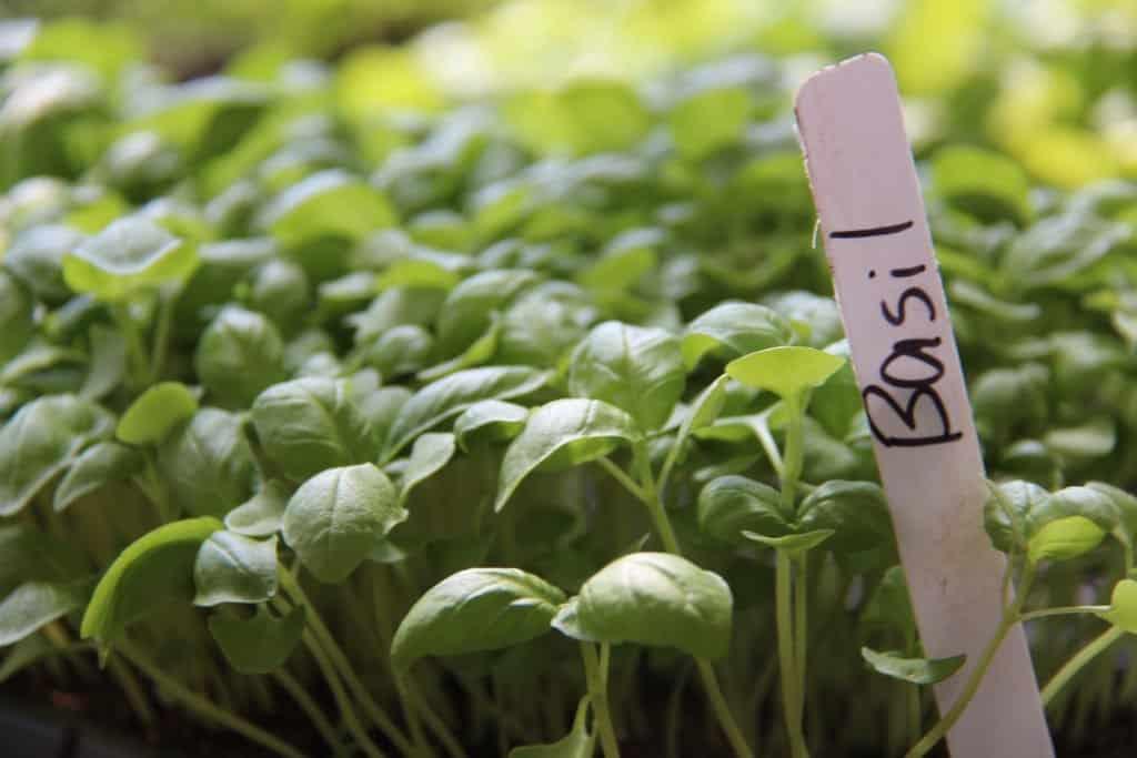 Growing Basil Microgreens - How to grow basil microgreens at home