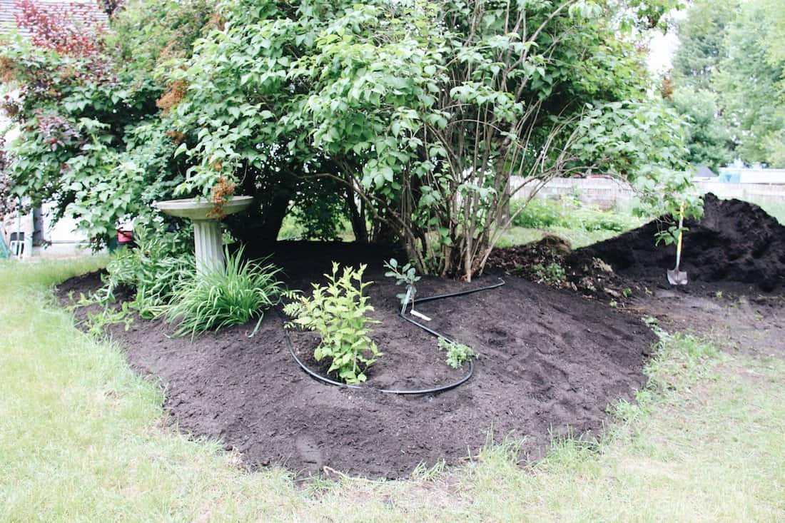 Laying organic mulch on a perennial garden