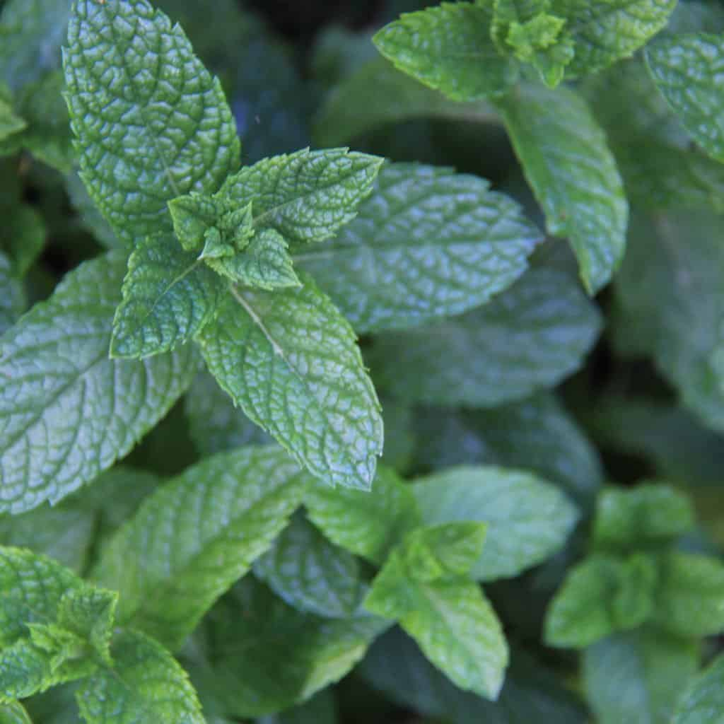 Mint Growing in Potager Herb Garden