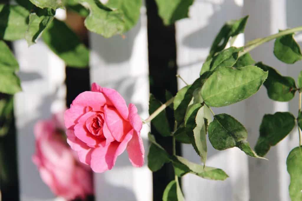Pink Garden Rose | Home for the Harvest Gardening Blog