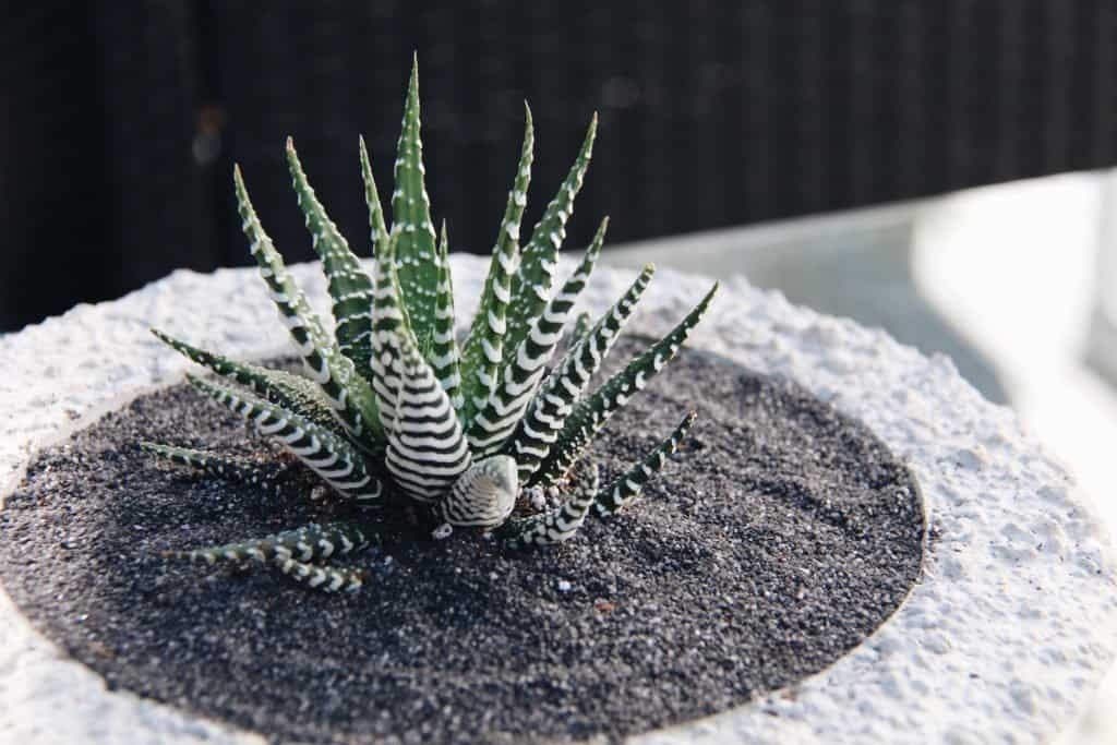 Haworthia in Concrete Bowl | Home for the Harvest