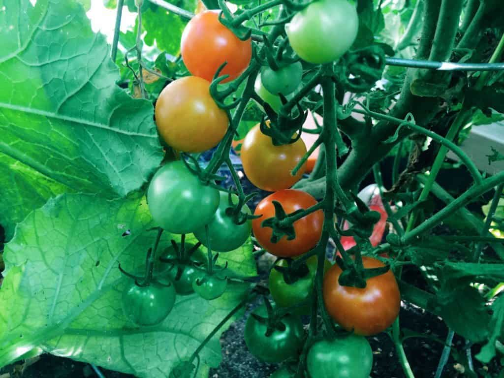 Tomatoes Ripening on the Vine | Home for the Harvest