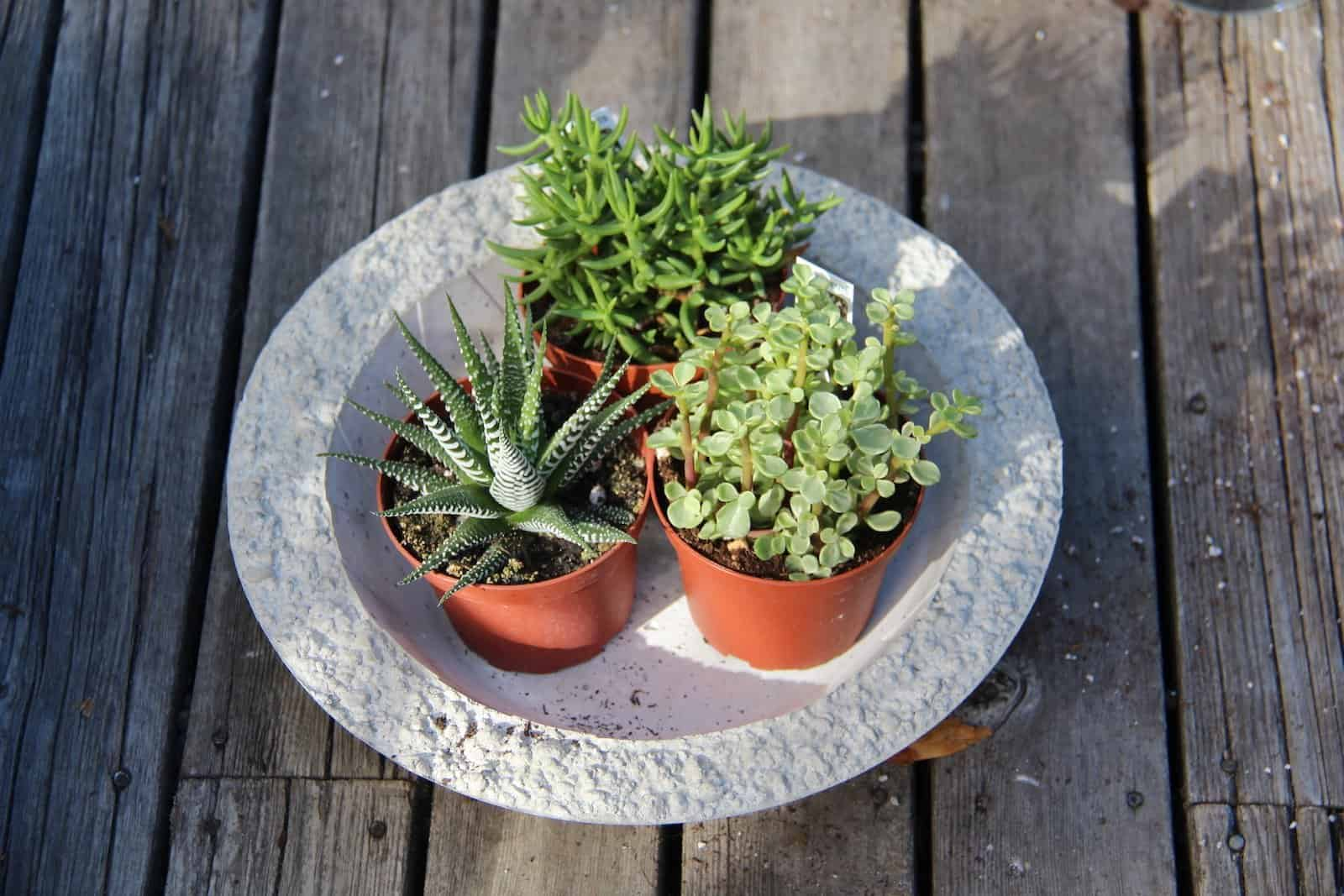 Grow Succulents In A Bowl Using Glass Ceramic Or Concrete Containers