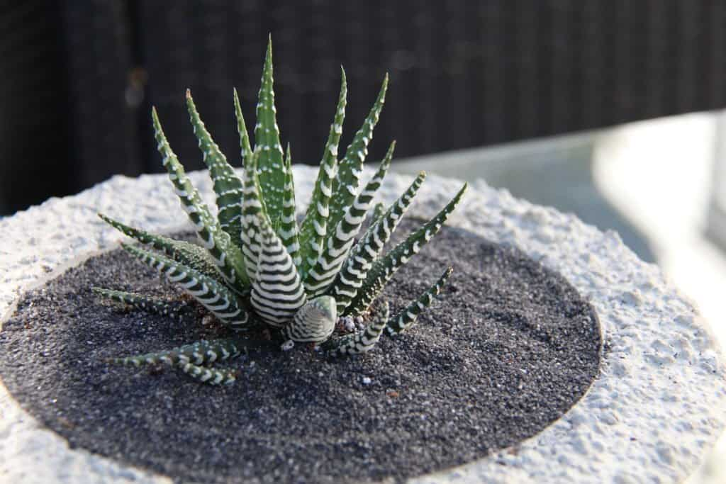 green and white aloe haworthia zebra cactus in succulent bowl with black sand