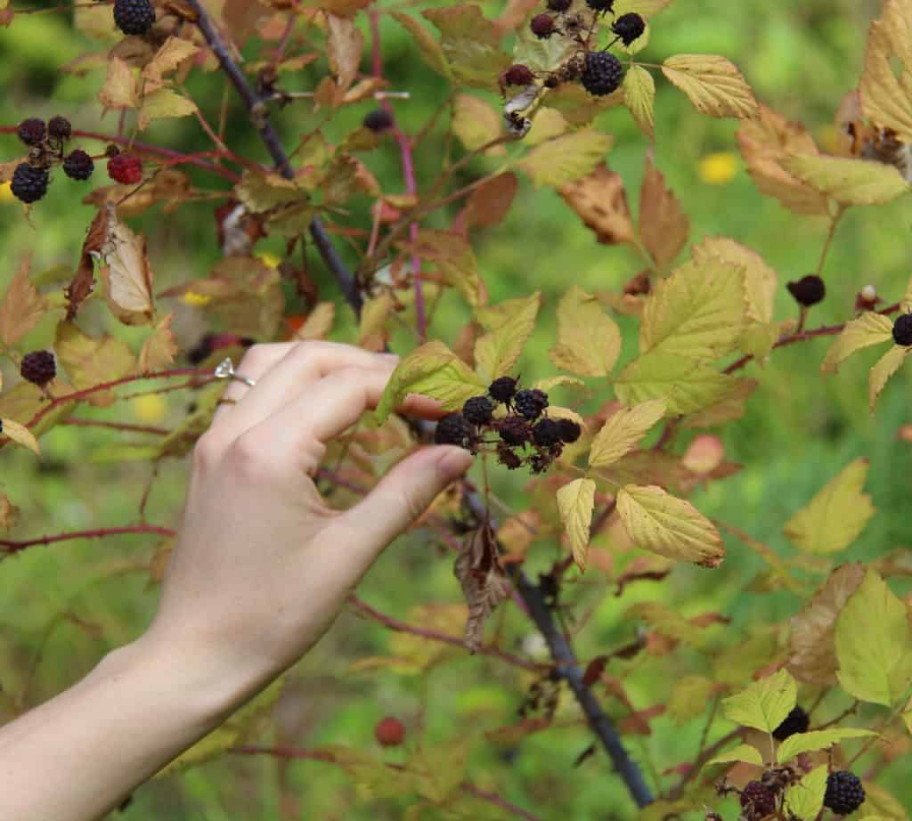 hand foraging wild berries from a berry plant