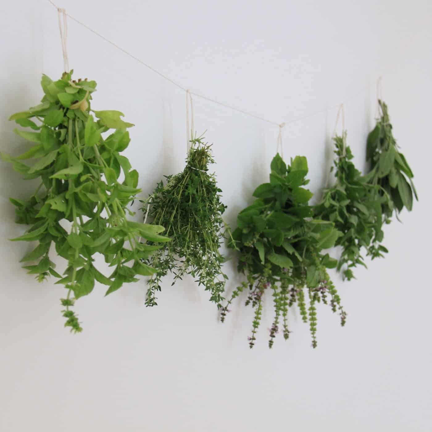 Hanging herb plants drying against a white wall
