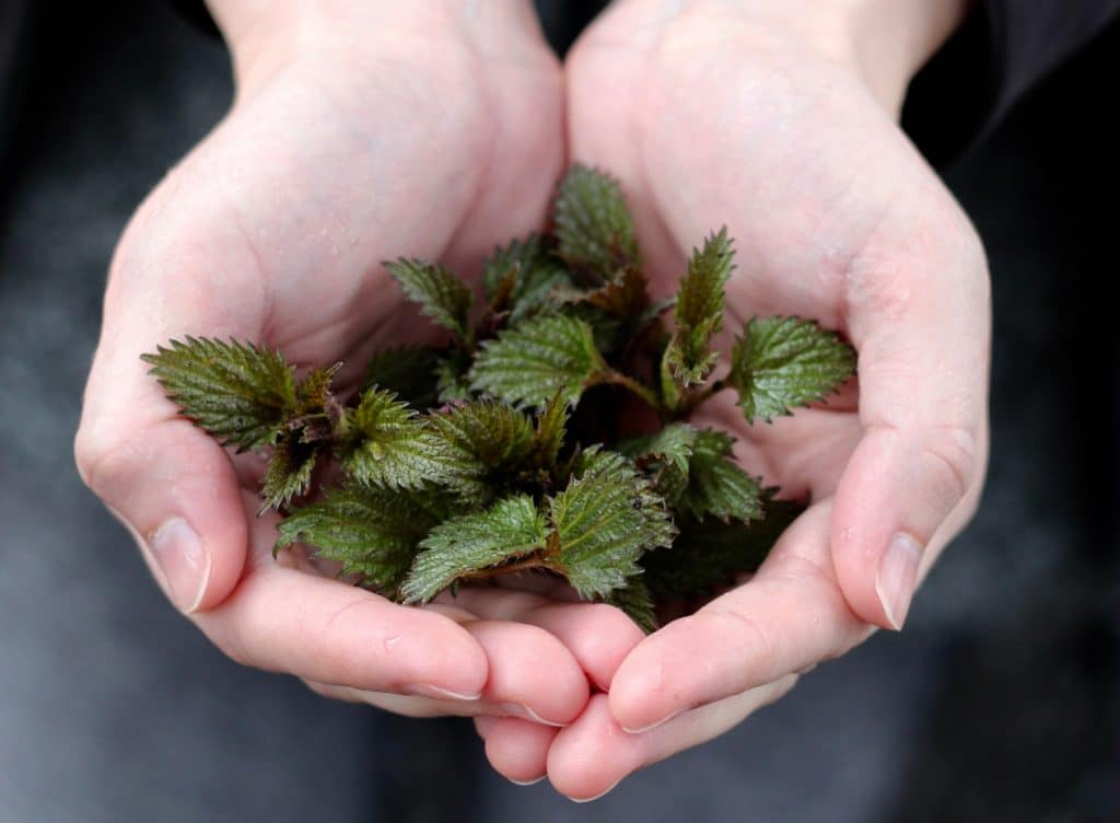 stinging nettles held in bare hands from a witch garden