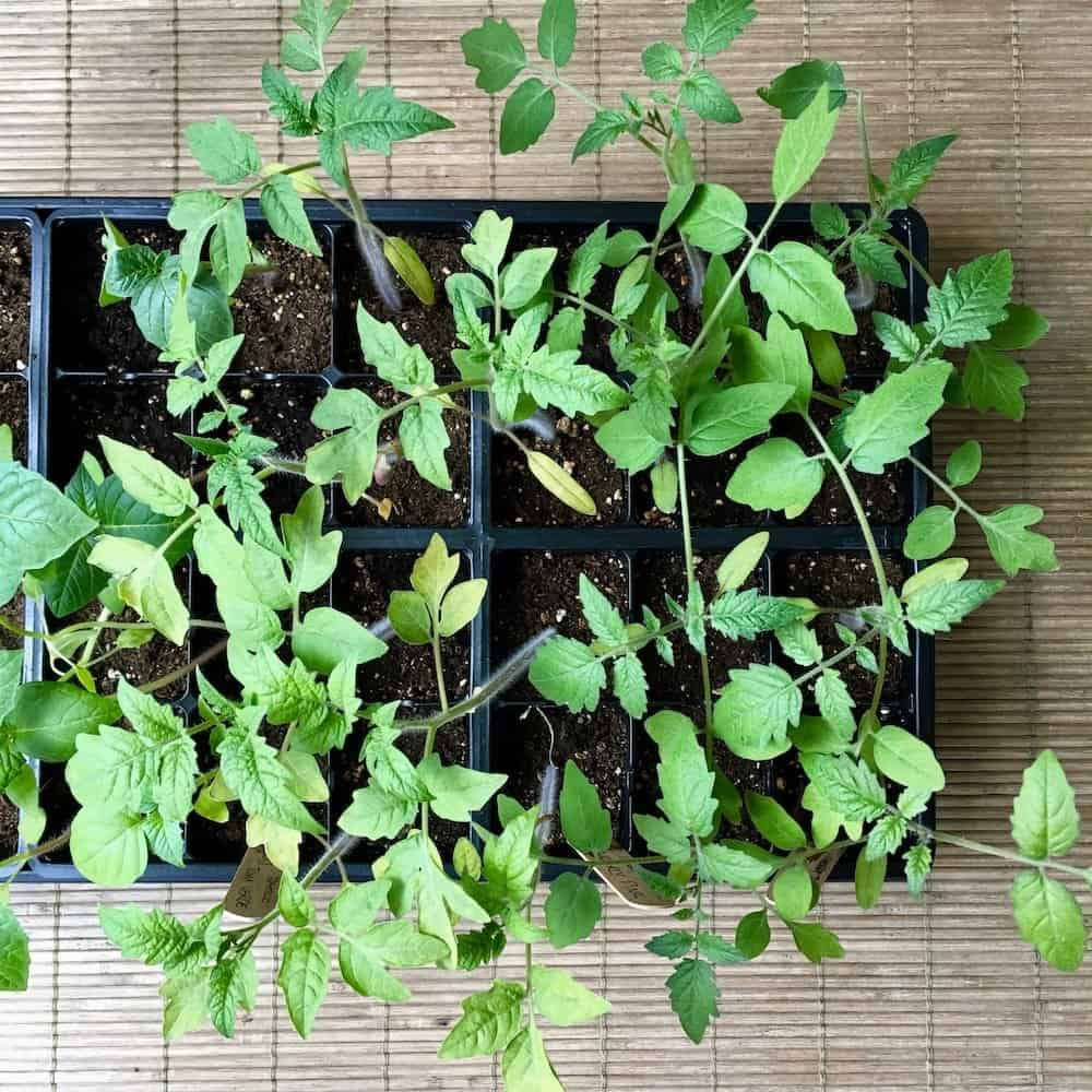 How to Start a Garden - Direct Seeding vs. Indoor Seed Starting | Home for the Harvest