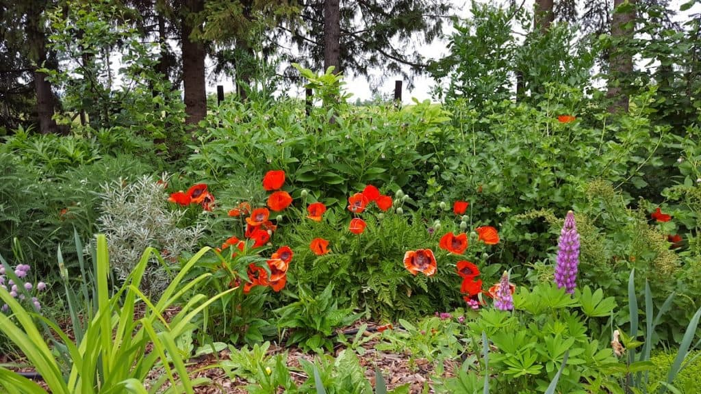 lush witch garden full of green witch herbs and witchy plants like red poppy and purple lupine