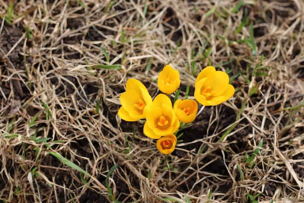 Yellow Crocus in the April Garden | Home for the Harvest