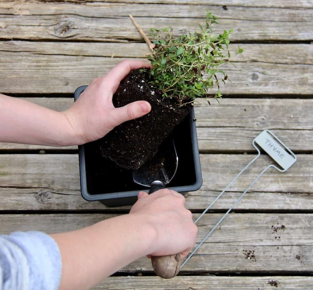 gardener planting a thyme plant in a herb garden planter with a garden trowel