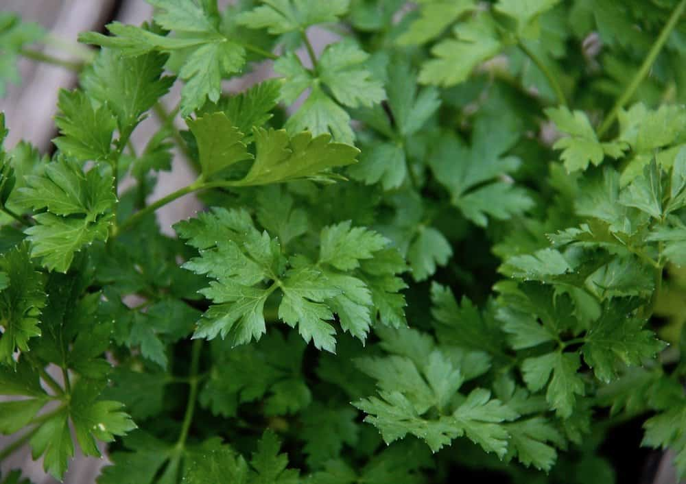 green parsley leaves of an Italian parsley herb plant