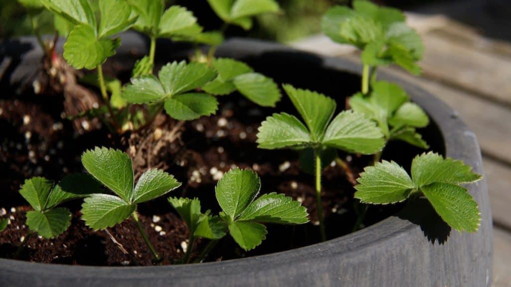 Baby strawberry plants in ceramic planter bowl on cedar deck