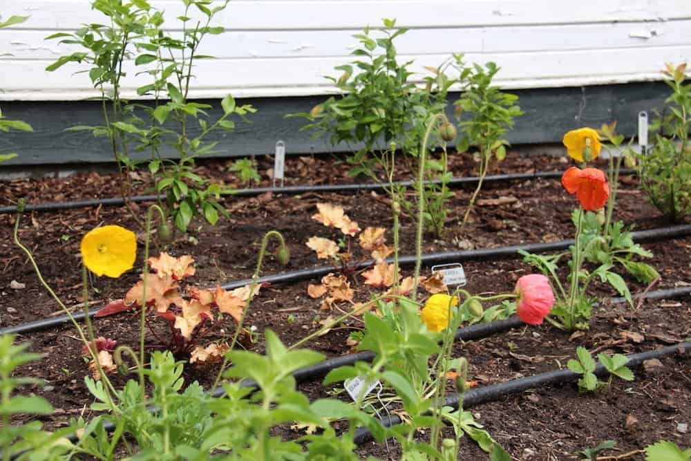 Drip irrigation, mulch, and compost can make berry gardens an easy, low-maintenance way to landscape with fruit | Home for the Harvest
