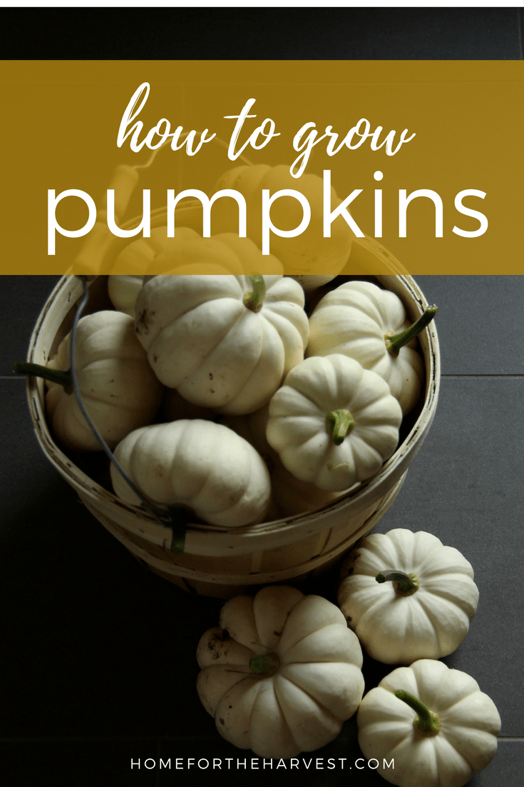 Pumpkins are easy to grow! Here's how to grow organic pumpkins - this tutorial includes everything you need to know | Home for the Harvest #pumpkin #pumpkins #organicpumpkin #organicpumpkins #growpumpkins #howtogrowpumpkins #organicgardening #homefortheharvest