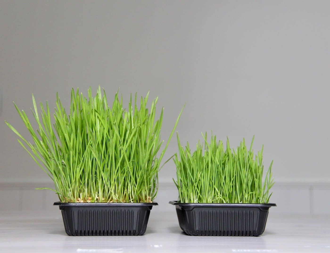 two wheatgrass trays - one with promix hp and one with just water