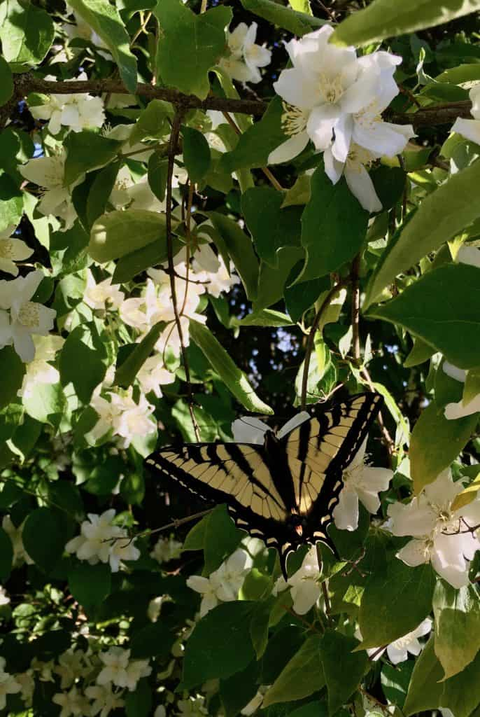 monarch butterfly pollinating spring blossoms in eco-friendly garden