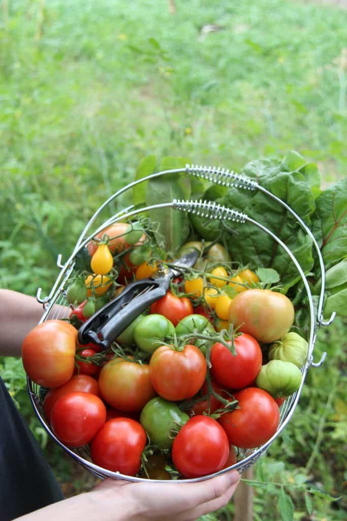 organic gardening harvest basket full of fresh organic tomatoes and garden pruners