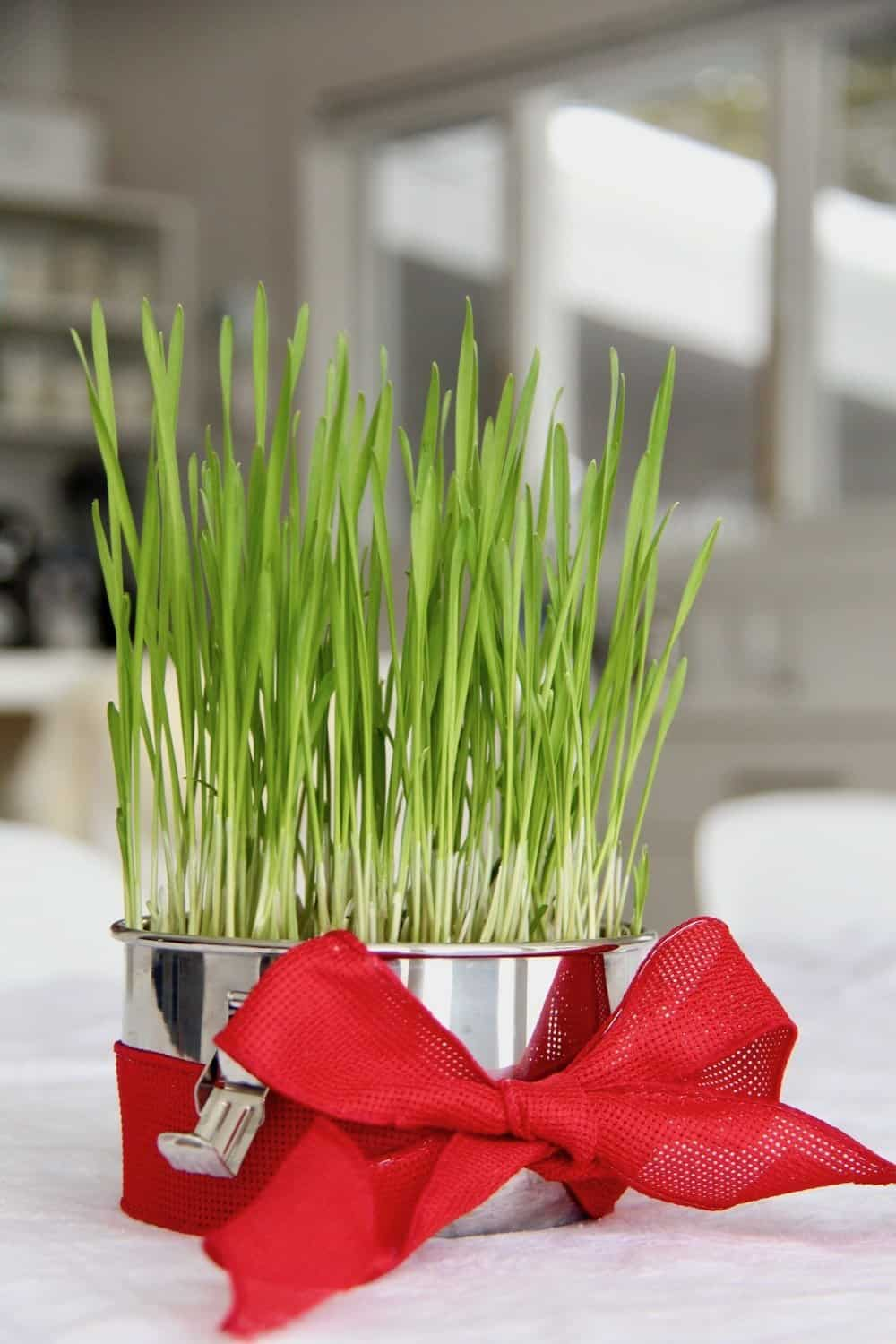 Green wheatgrass growing in metal container wrapped in red ribbon as a green valentine gift