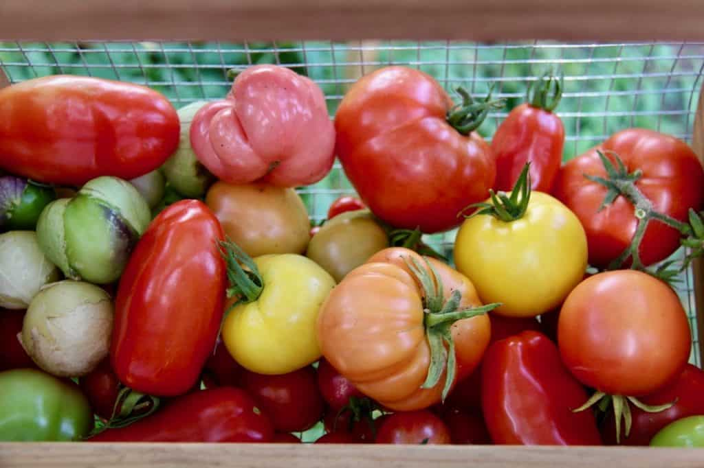 red, pink, yellow, and orange heirloom tomatoes in a harvest basket grown with organic fertilizer