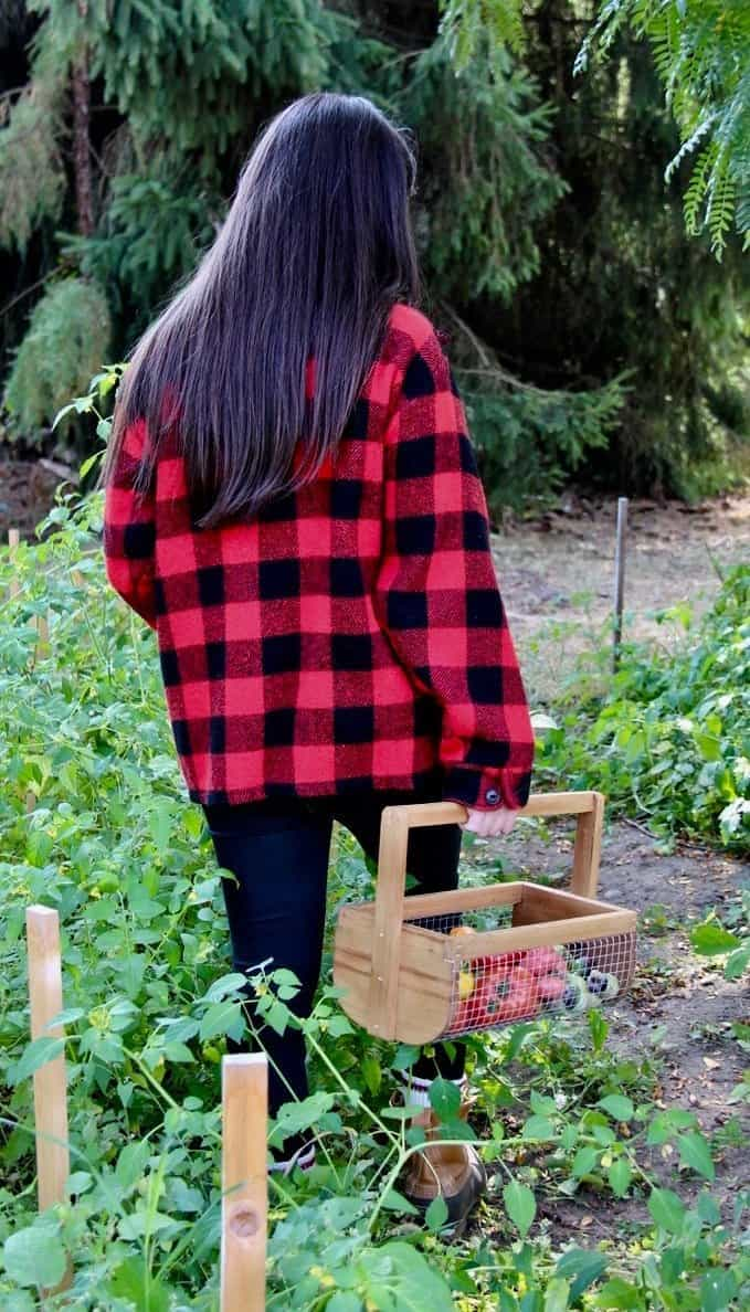 gardener in red plaid jacket holding harvest basket of tomatoes amidst garden tomato plants