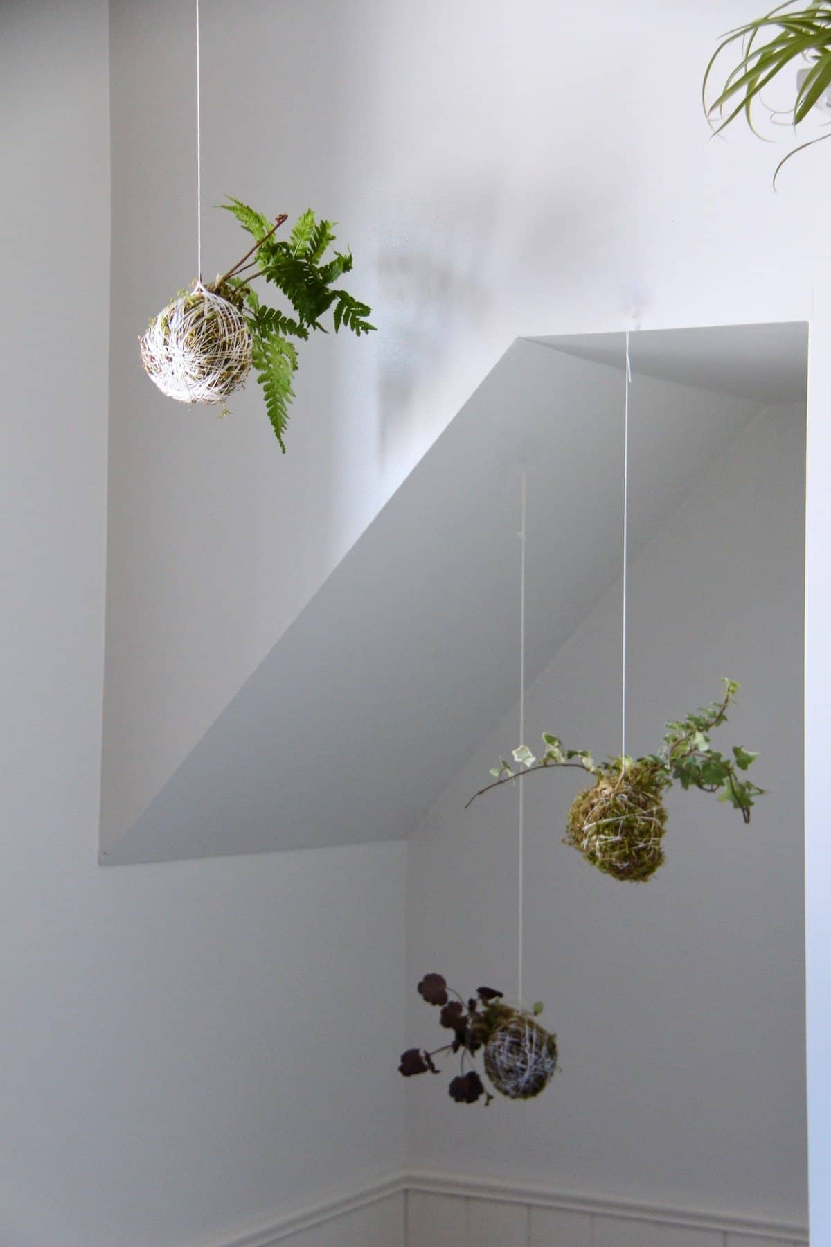 Three hanging moss ball string garden kokedama against a white wall with an alcove
