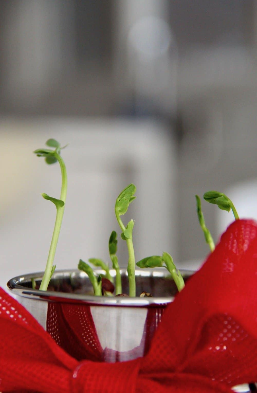 green pea shoots growing up out of a metal container with a red ribbon for a love grows valentine kit