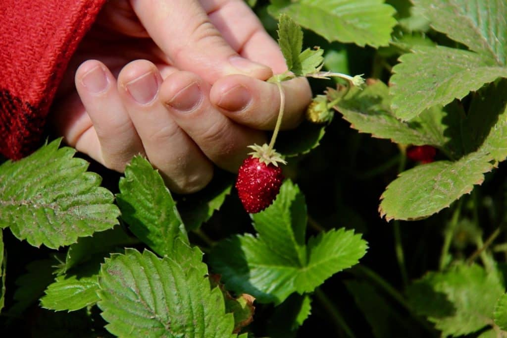 red alpine strawberry being picked from a potager kitchen garden surrounded by green leaves