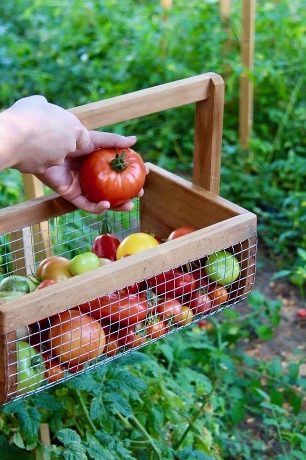 harvesting fresh heirloom tomatoes from the garden using organic fertilizer for vegetables instead of chemicals