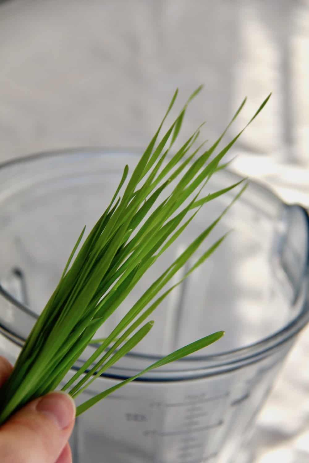 green wheatgrass blades above clear vitamix blender jug