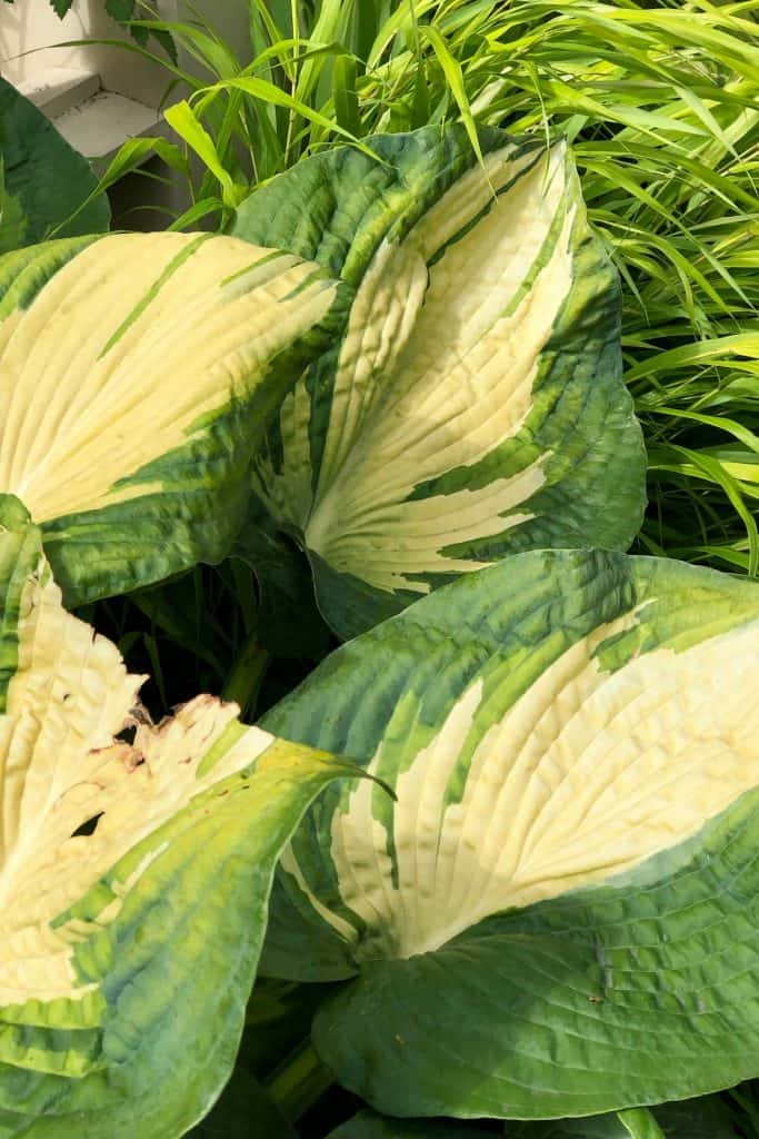 Aging Hosta Leaves in September - Autumn Hostas