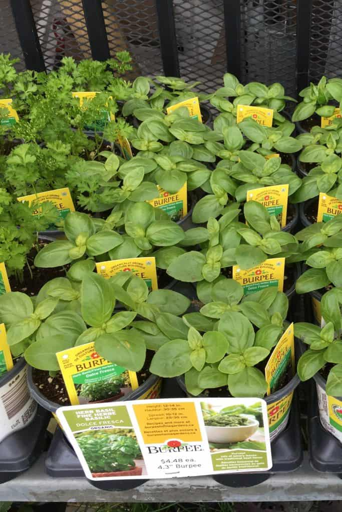 Basil Does Not Come Back Every Year - Buy New Plants Each Spring