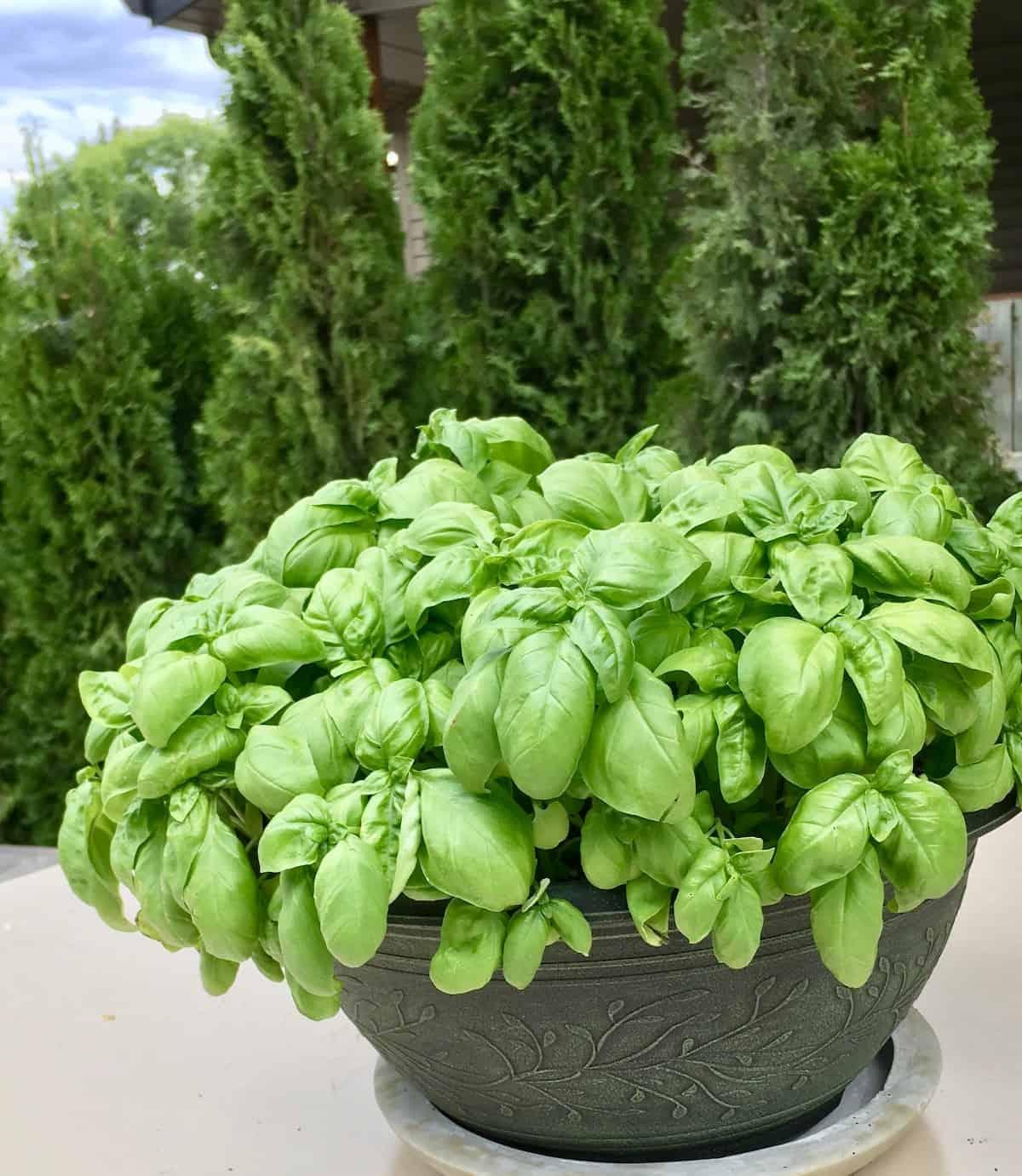 Basil is an Annual Plant (Not a Perennial)