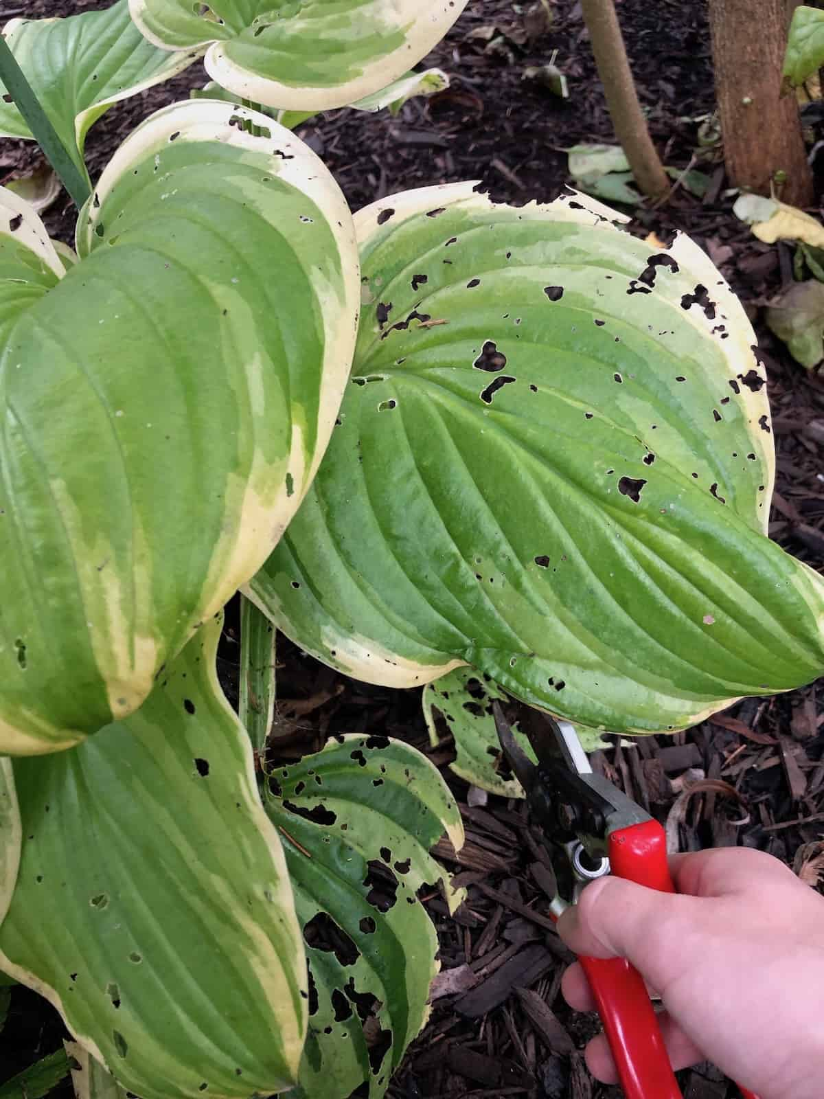 Cutting Back Hosta Plants in the Fall