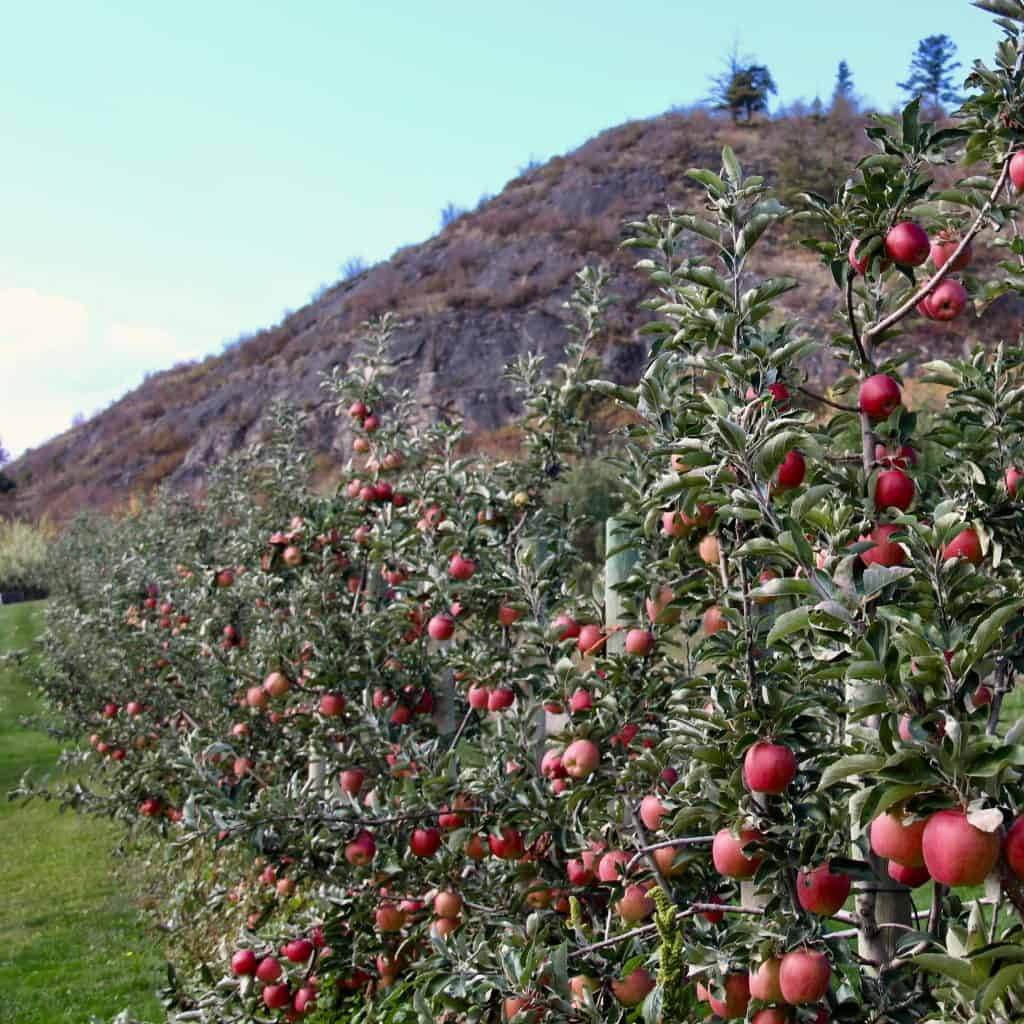 Growing a Row of Healthy Fertilized Apple Trees